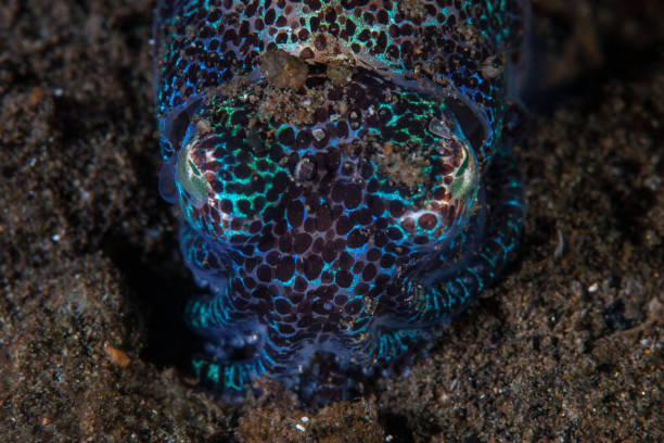 Bobtail Squid on Black Sand A Bobtail squid, Euprymna sp., hides in sand in Komodo National Park, Indonesia. This beautiful creature is nocturnal and found on sandy seafloor. bobtail squid stock pictures, royalty-free photos & images