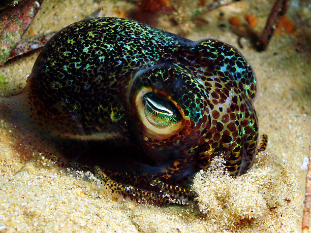 Bobtail Squid Euprymna tasmanica, also known as the Southern Dumpling Squid or bobtail squid.  bobtail squid stock pictures, royalty-free photos & images