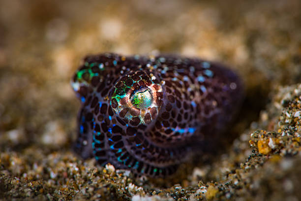 Bobtail Squid (Euprymna berryi) Bobtail Squid (Euprymna berryi), over a sandy bottom, under 2 cm in size,  displaying its dark brown and purple spots. Focus on the eye.  Unusual angle view. bobtail squid stock pictures, royalty-free photos & images