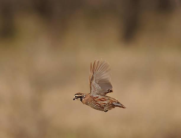 quail bobwhite volant - colin photos et images de collection