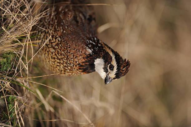 quail bobwhite - colin photos et images de collection