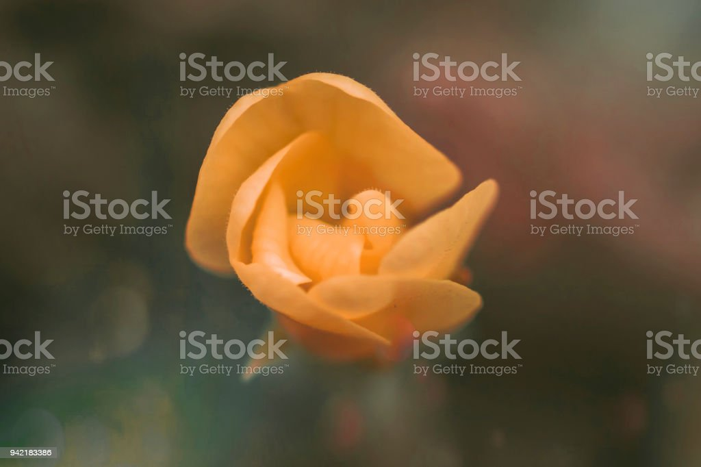 Bocciolo colorato di primula - macro fiore - foto di stock immagine - foto stock