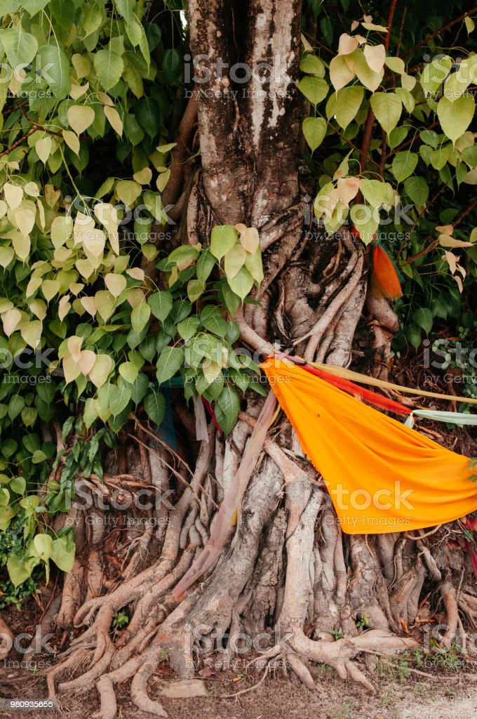 Bodhi, Bo or Bodh tree with yellow buddhist monk robe tight around as a sacred tree stock photo