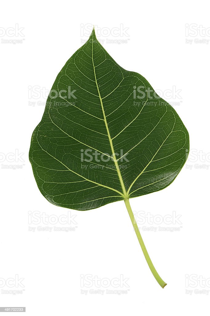 Bodhi green leaf isolated stock photo
