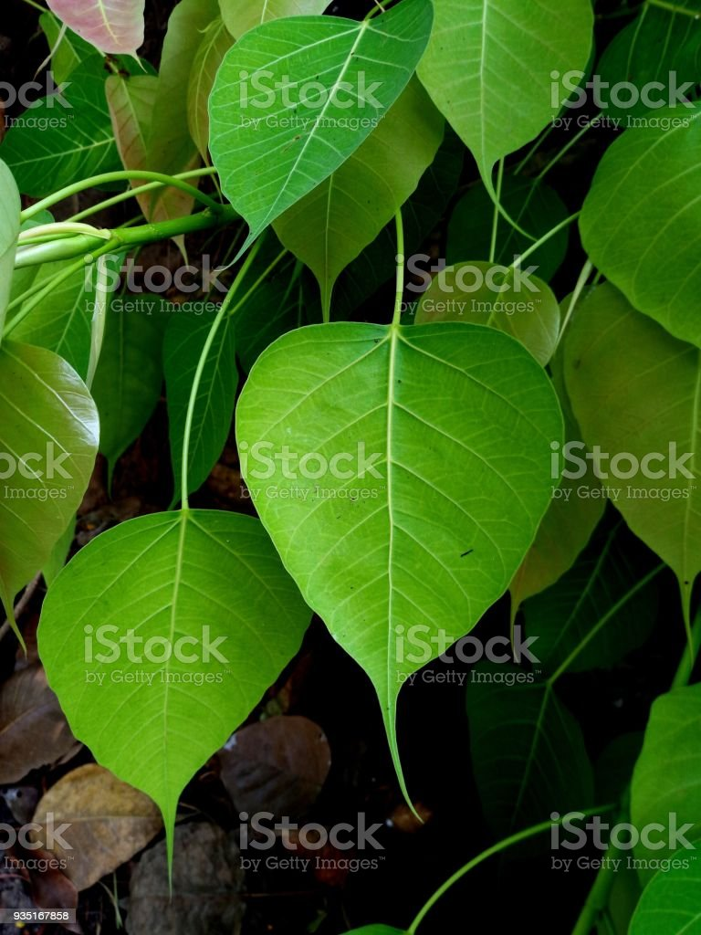 Bodhi leaf backgrounds stock photo