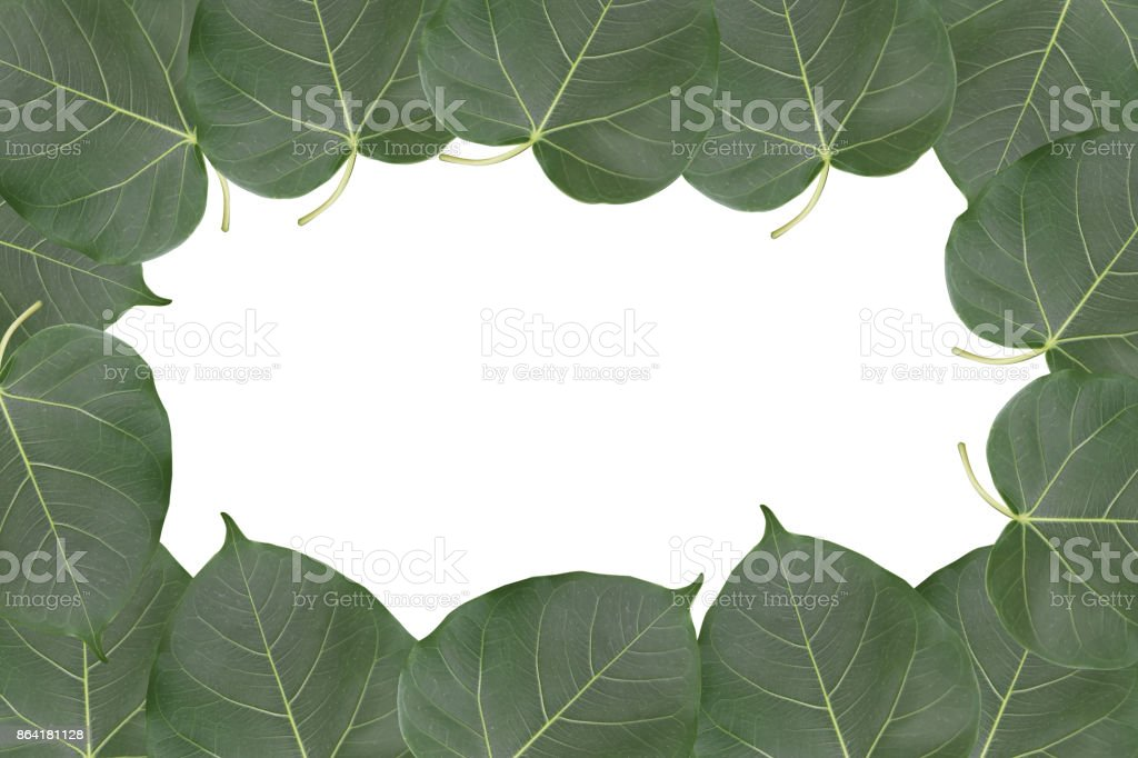 Bodhi leaf frame isolated on white background with clipping path and empty space for text, Ficus religiosa in scientific name royalty-free stock photo