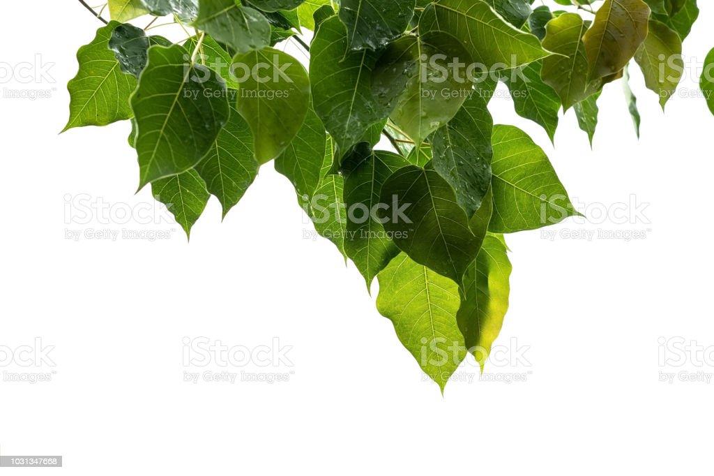 bodhi leaf stock photo