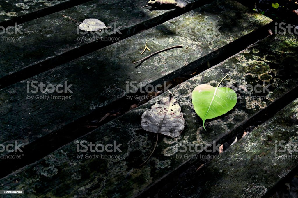 Bodhi leave or Pipal leave with sun effect on wood background and with copy space for text. stock photo