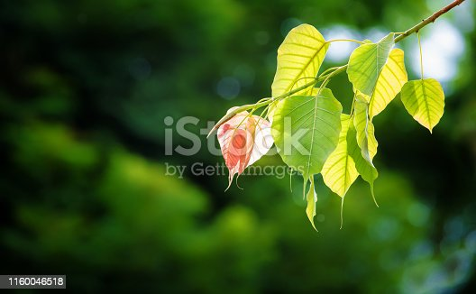 Bodhi leaves background in sun light abd dark background, also known as Pipal leaves and Bo leaves