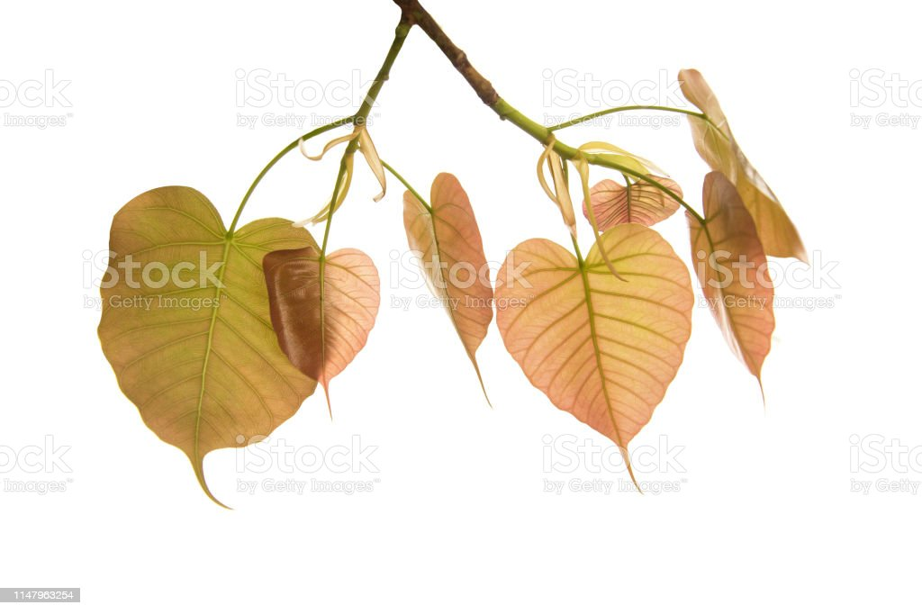 Bodhi leaves isolated on White background or Peepal Leaf from the Bodhi tree, stock photo