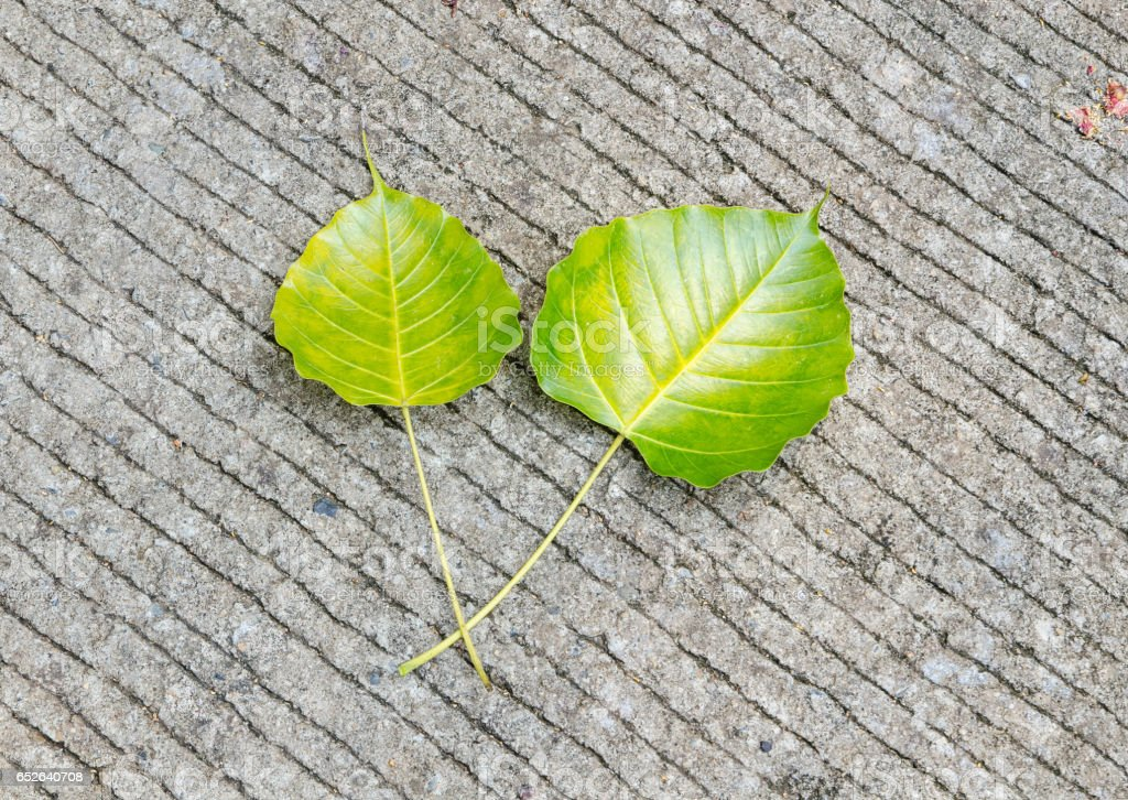 Bodhi leaves on the ground stock photo