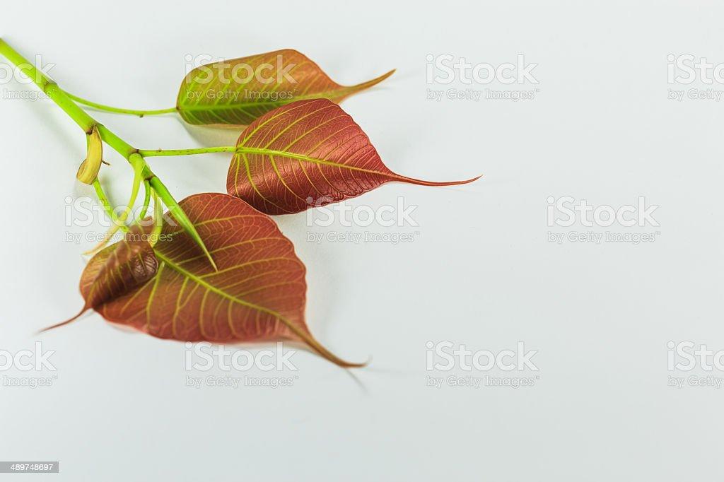 Bodhi leaves stock photo