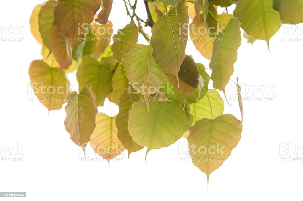 Bodhi or Peepal Leaf from the Bodhi tree, Sacred Tree for Hindus and Buddhist. stock photo