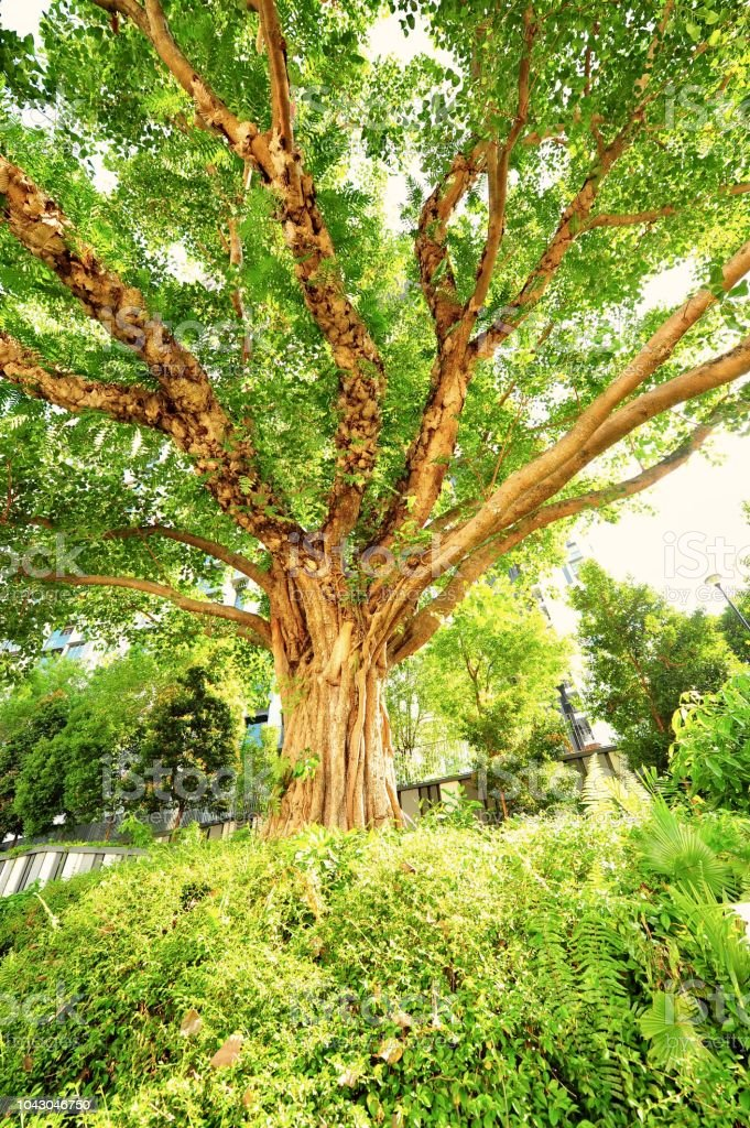 Árbol de Bodhi en el parque de la llanura de Duxton, Singapore - foto de stock