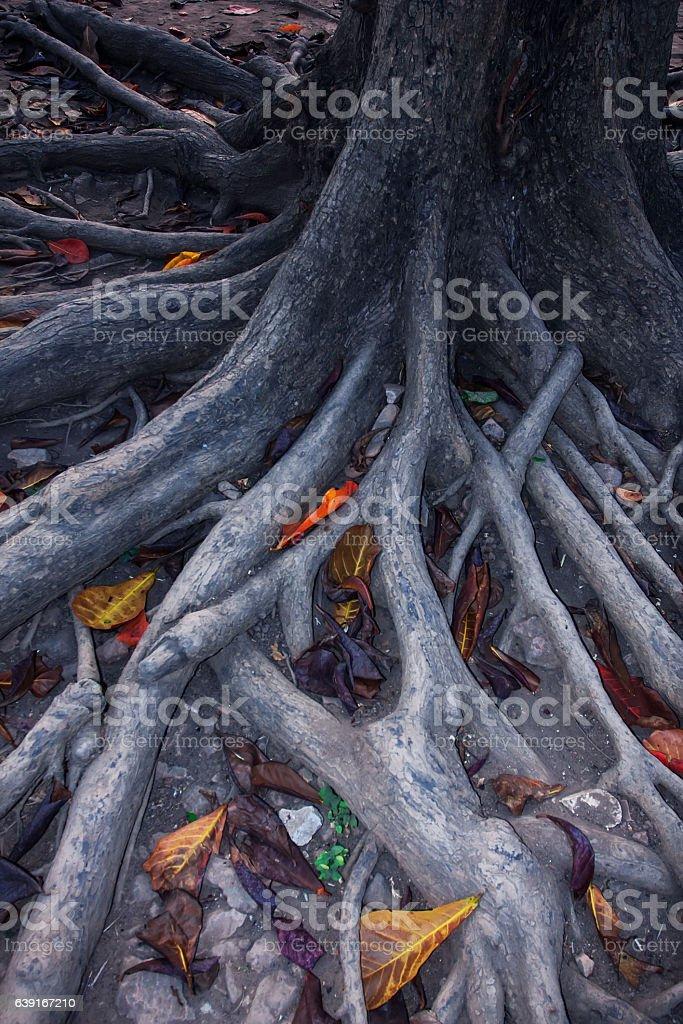 Árbol Bodhi - foto de stock