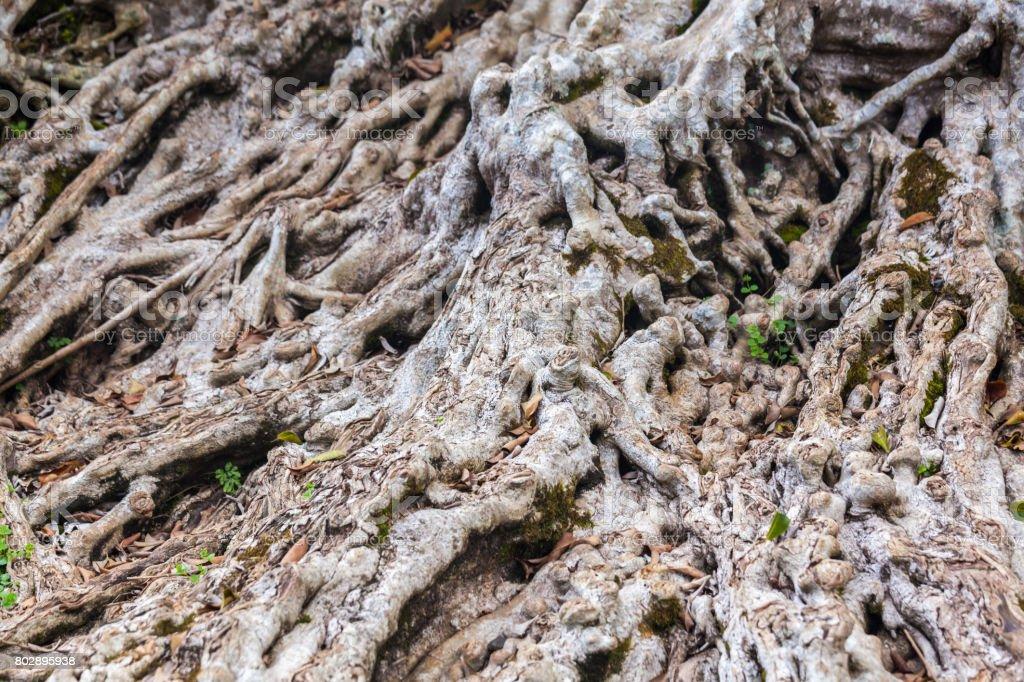 Raíces del árbol Bodhi - foto de stock