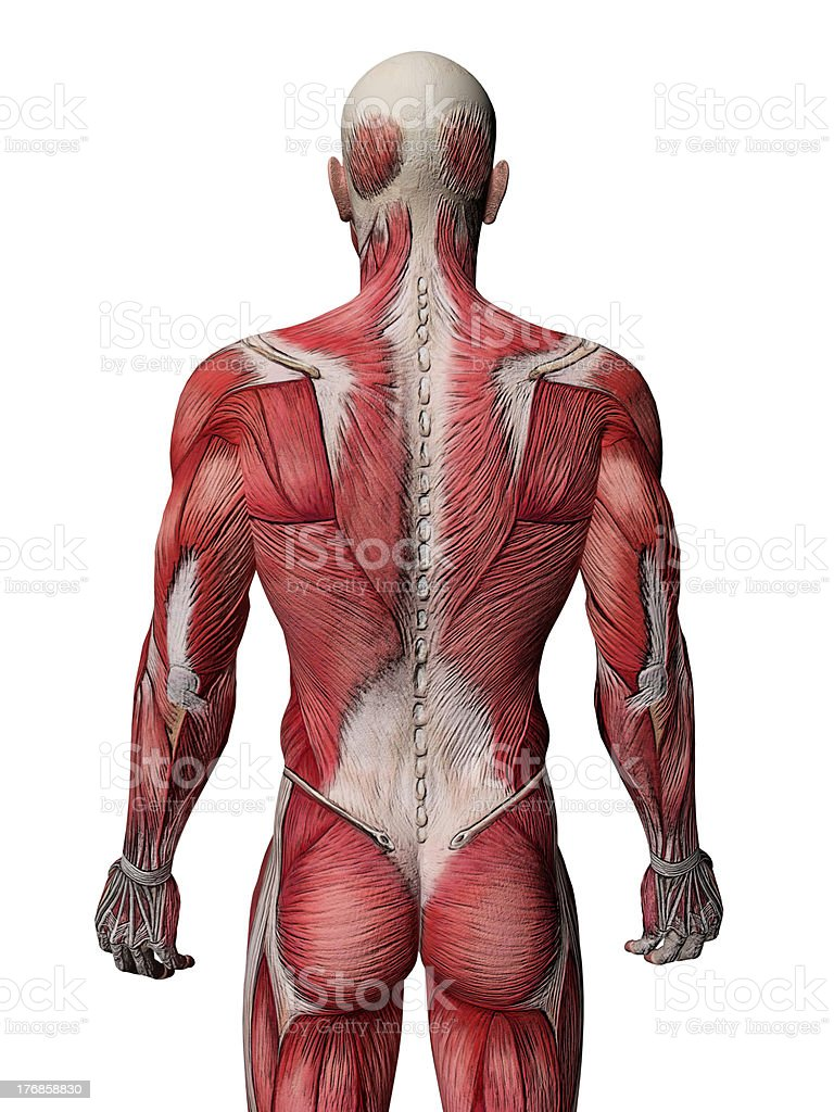 Body Muscles - Anatomy Rear View stock photo