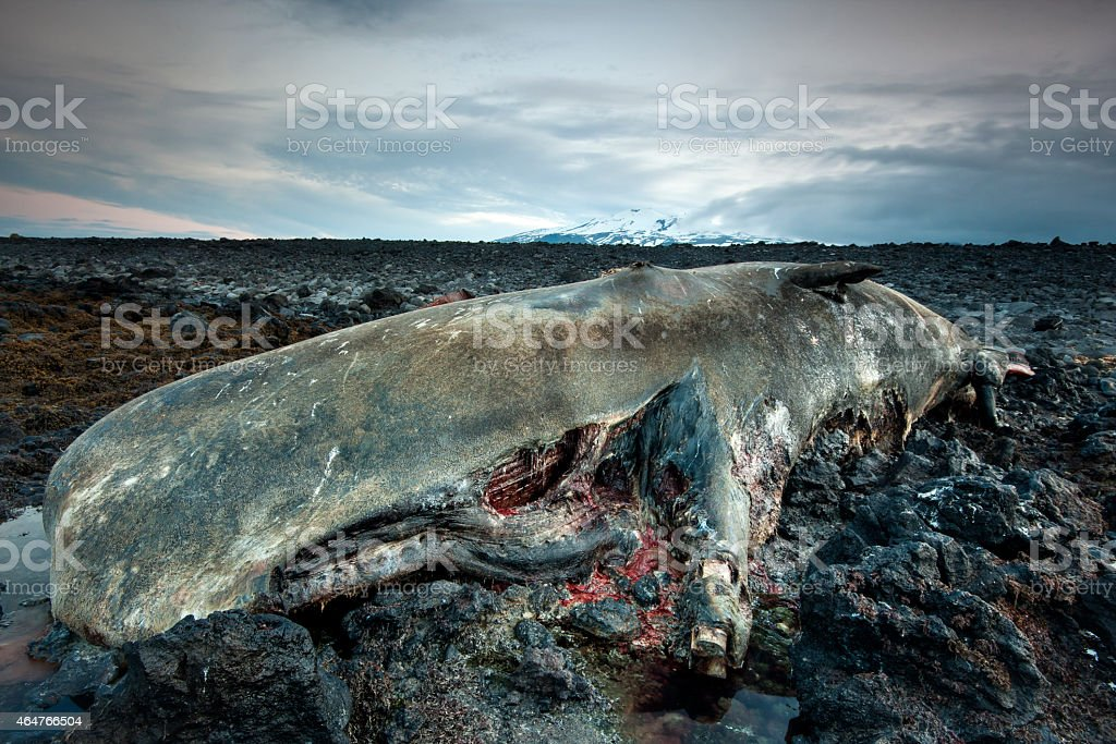 Body of a dead sperm whale in Iceland stock photo