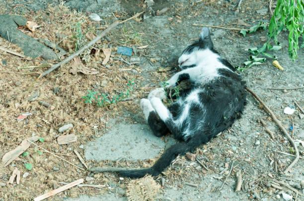Corpo de gato morto no chão morto por carro atropelar. - foto de acervo
