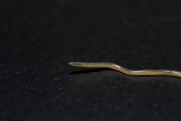 Body of Toxocara cati Roundworm of pets, macrophotography, internal parasites of cats nematode worm stock pictures, royalty-free photos & images