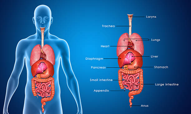 Body Organs labelled stock photo