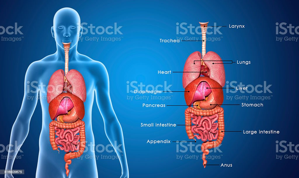 Royalty Free Lungs Illustration Pictures  Images And Stock