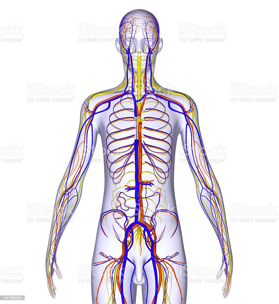 Body With Nervous System Stock Photo & More Pictures of Anatomy | iStock