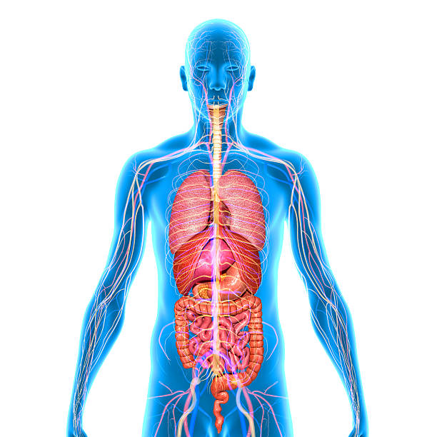 Body with organs stock photo