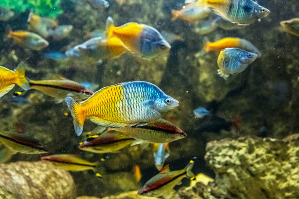 Boeseman의 무지개 물고기--멜 라 노 타 레니 아 보스 마 니 스톡 사진