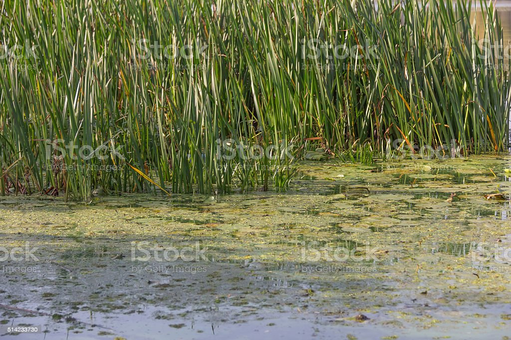bog and sedge in pond stock photo
