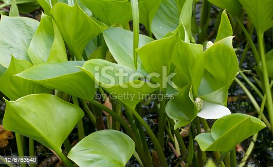 Short stoutly-rhizomatous, aquatic perennial, the green rhizomes bearing the persistent membranous bases of leaves. Leaves rounded to heart-shaped, plain green, stalked, held just above the water surface. Flowers yellowish-green in a compact spadix, 1-3cm long, with a basal white spathe similar in shape to the leaves, not enfolding the spadix. Berries red, 5mm. Habitat: Swampy places. Flowering Season: June-August. Distribution: Throughout Europe, except the Extreme west. Widespread. The plant is very poisonous when fresh due to its high oxalic acid content, but the rhizome (like that of Caladium, Colocasia, and Arum) is edible after drying, grinding, leaching and boiling (source Wikipedia).  This wonderful Plant is not common in the Netherlands, but sometimes abundant on the suitable Habitats.