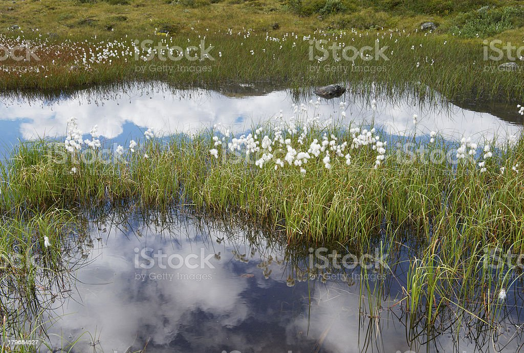 Bog, cotton grass and puffy clouds reflected on water surface royalty-free stock photo