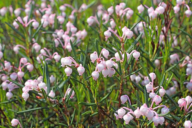 Bog rosemary. Flowers close up stock photo