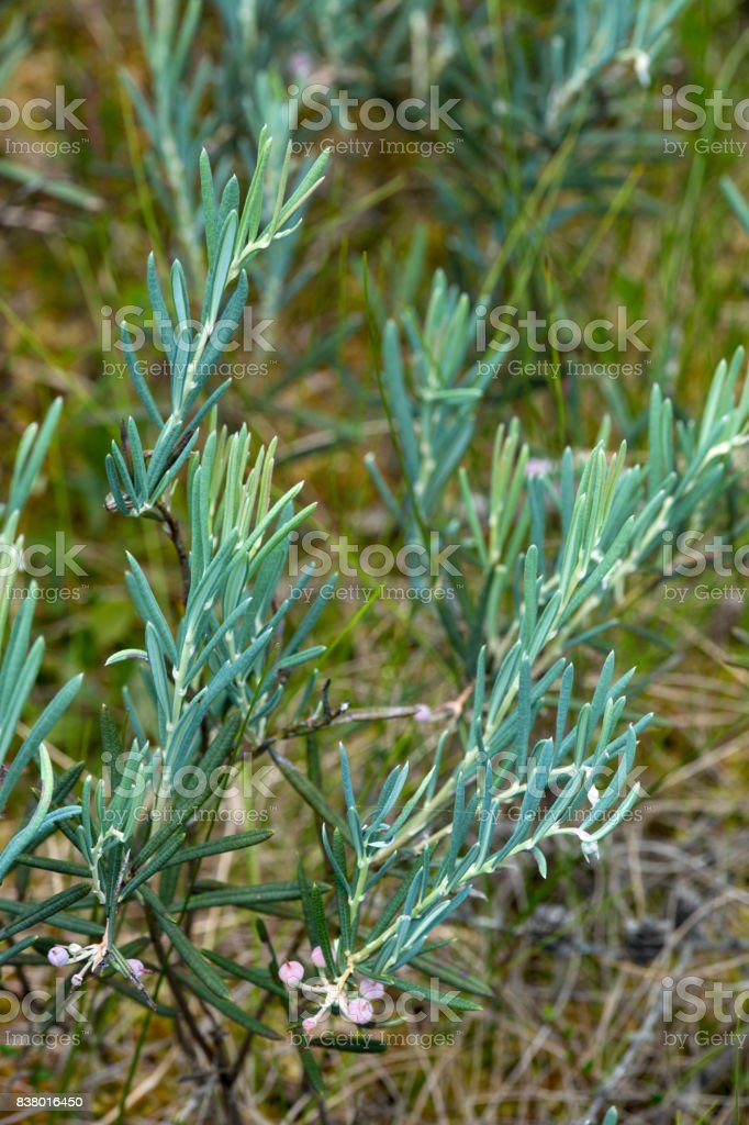 Bog rosemary shrub in a New Hampshire peat bog. stock photo
