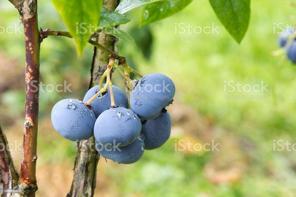 Bog whortleberry (Vaccinium uliginosum) stock photo