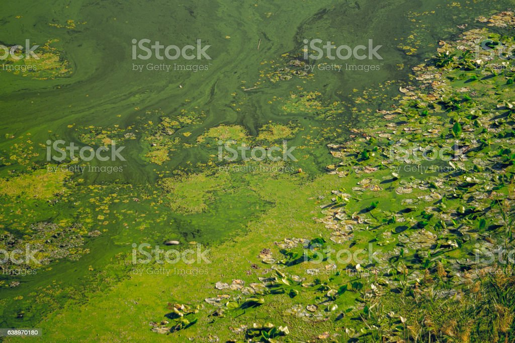 Boggy Bank of the river. Bloom of diatoms stock photo
