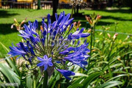 Bogotá, Colombia - An umbel of bright blue Agapanthus Praecox flowers in the morning sunlight. It is commonly seen around the Capital City and other parts of the Andes and seems to thrive with little care or attention. It often called the African Lily.