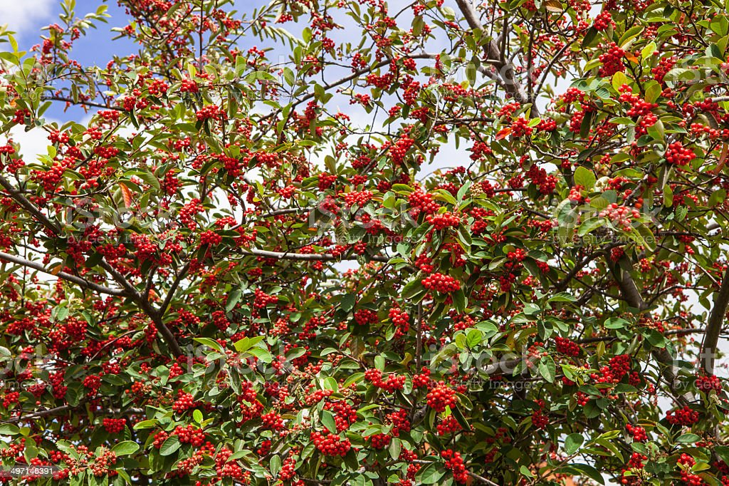 Bogota, Colombia - Red berries on tree royalty-free stock photo