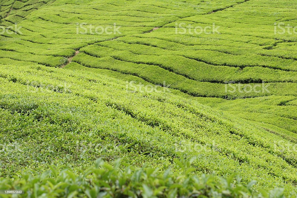 Boh Tea Plantations 2 stock photo