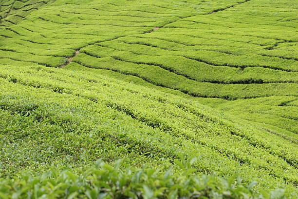 Boh Tea Plantations 2 stock photo