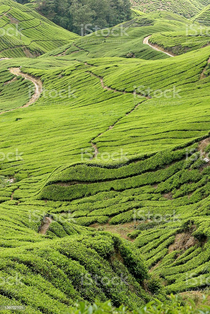 Boh Tea Plantations stock photo