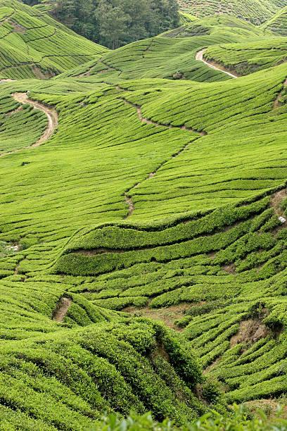 Boh Tea Plantations stock photo