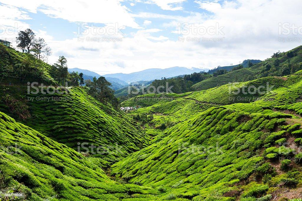 Boh Valley and tea plantation stock photo