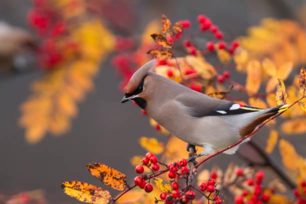 boheemse pestvogels, bombycilla garrulus - vogel herfst stockfoto's en -beelden