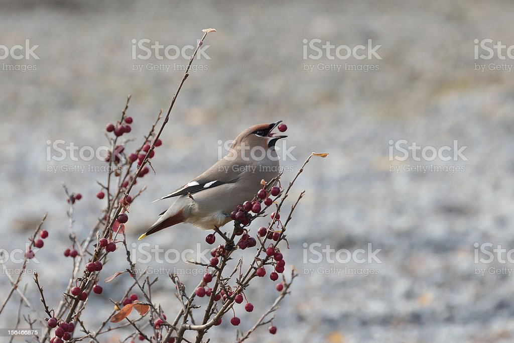 Bohemian Waxwing eating a berry royalty-free stock photo