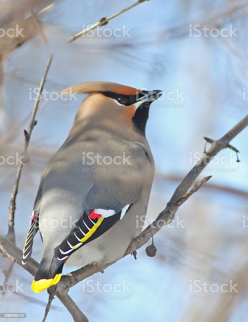 Bohemian Waxwing in winter Lizenzfreies stock-foto