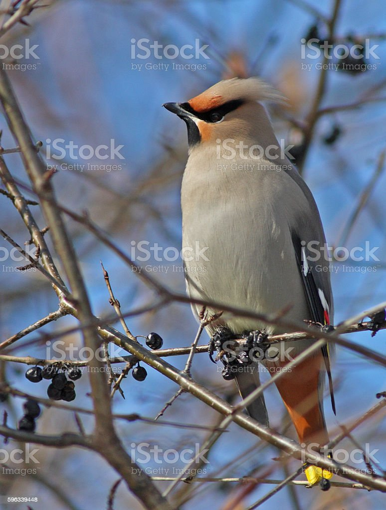 Bohemian Waxwing in winter royalty-free stock photo