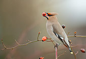 Bohemian waxwing (Bombycilla garrulous) perching on a dogrose and eating a red rose hip.