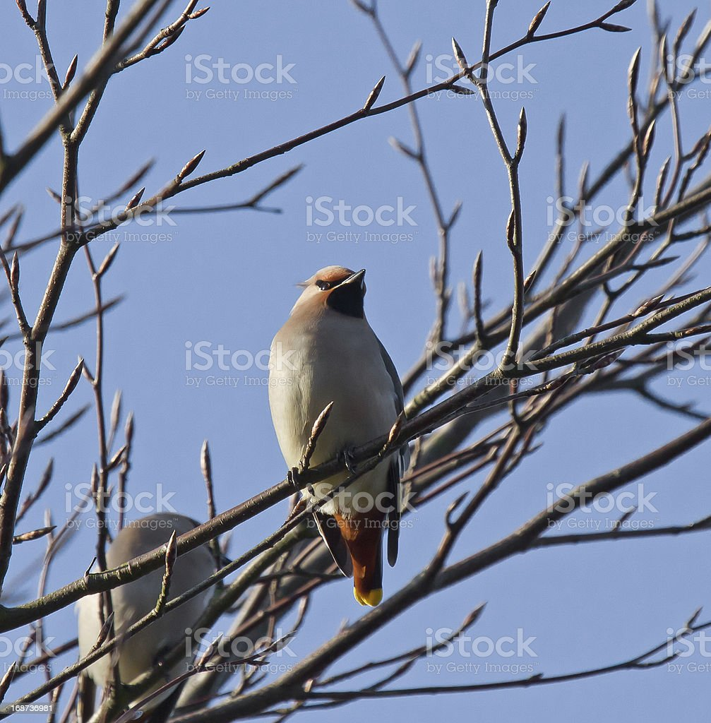 Bohemian Waxwing royalty-free stock photo
