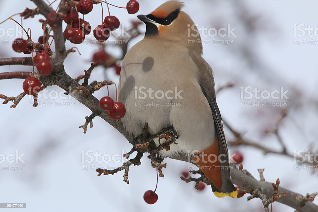 Bohemian Waxwing Visiting in a Cold Winter stock photo